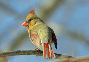 Female Cardinal Breeding Plumage
