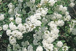 Van Houtte Spiraea covered in white blossoms
