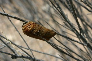 Cocoon on bare branch
