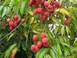 330px-litchi_chinensis_fruits