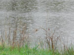 light rain on pond water and wild grasses on edge