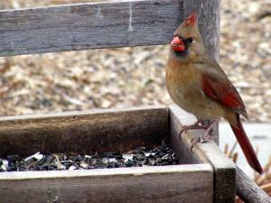 female cardinal on wooden tray feeder