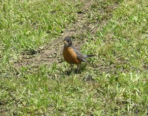 robin on ground