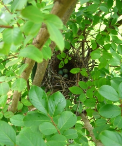 bird nest with eggs in a leafy bush