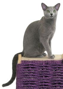 Russian Blue cat on purple wicker stand