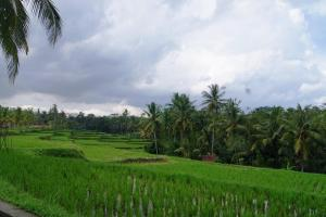 Bali rice paddies bright green