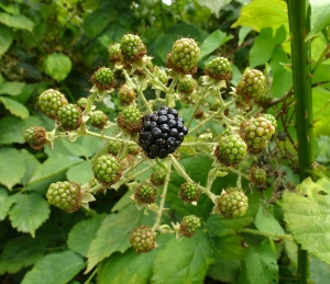 One ripe and several grreen blackberries on bush