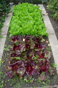 Raised bed of lettuces
