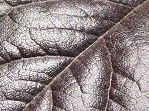 Close up of purplish leaf