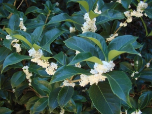 Osmanthus blooming with white flowers