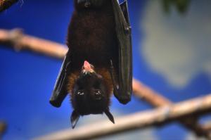 Bat hanging inverted