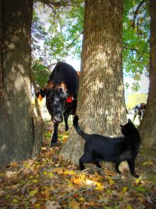 Black cow and black cat looking at each other around tree trunk