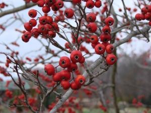 Bare brach heavy woth ripe red hawthorne berries