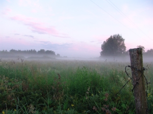 Ground fog in field of tall grass with tree in distande