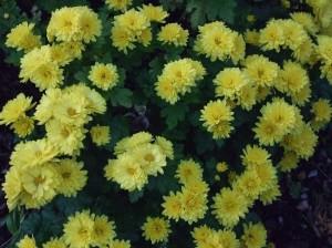 Yellow chrysanthemum blooms