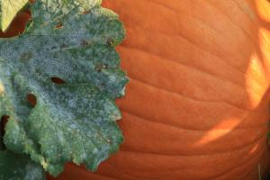 Side of pumpkin with large leaf against it