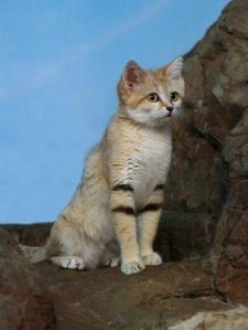 Wild Sand Cat