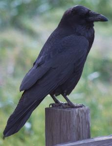 Close up of raven on post