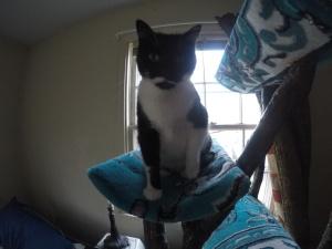 Tuxedo cat Milk on cat tree cradle