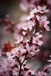 Close up of plum blossoms