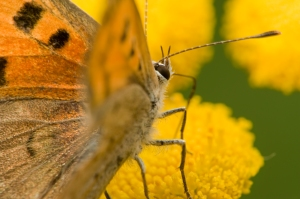 Closeup of orange butterfly on yellow blossom