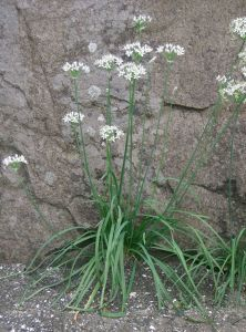 Close up of white blossom and leavs of garlic chives