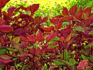 Red-tinted Perilla plants growing in shade