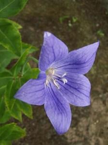 Close up of blue bellflower blossom