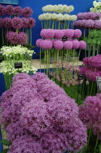 Purple and white Alliums in bloom at flower show
