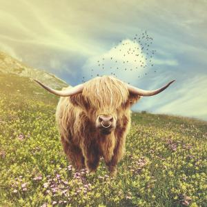Highland bull in pasture