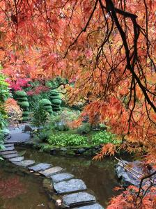 Japanese garden with large red maple and stepping stone walkway