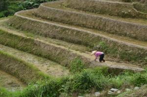 Long shot of man planting rice in terraced fields