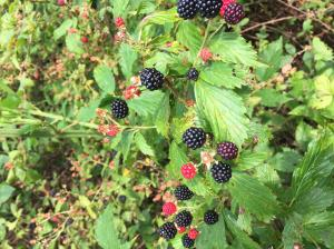Close view of ripe and unripe blackberries on canes with leaves