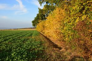 Green crops in field next to widbreak with trees in yellow leaves