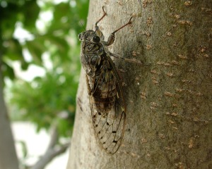 Close up of cicada on tree trunk