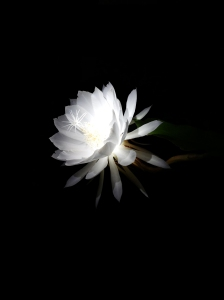 Close up of white night blooming cereues blossom against black background