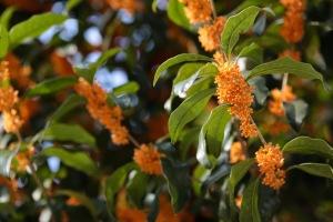Clos up of orange flowers of Osmanthis fragrans