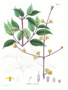 Botanical print of Chinese cornal dogwood