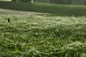 Heavy dew on web coated field