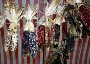 Hanging bundles of colored dried Indian corn