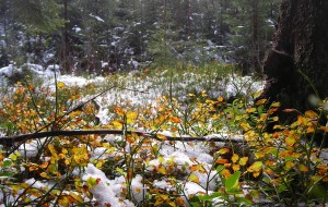Ligh snow on fallen autumn leaves