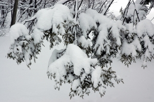 Heavy snow on pine branches