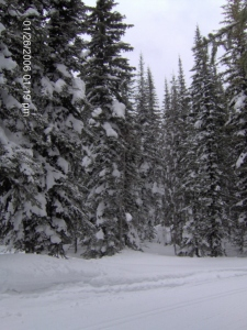 Tall pines in deep snow
