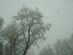 Frosted tree on grey day