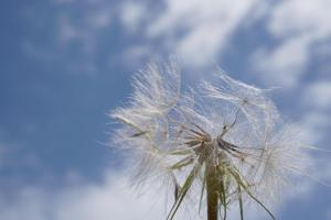 Dandelion seeds being blown off the flowerhead against a blue sky