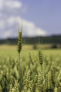 Full but unripe heads of grain against blue sky
