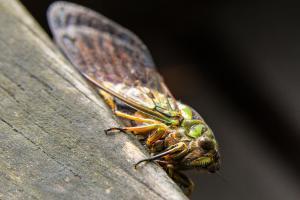 Cicada on leaf