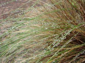 rain drops on tall grasses