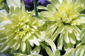 Close up of white chrysanthemums