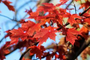 reddish orange fall leaves against blue sky